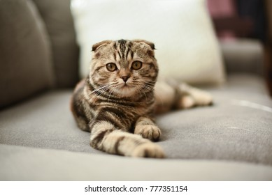 Small Brown Striped Scottish Fold Kitten Cat Hanging Out Around the House Napping  with Folded Ears