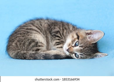 Small brown tabby kitten curled up to fall asleep on a blue blanket.