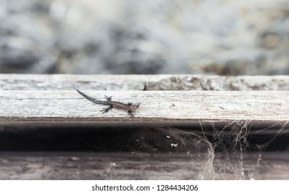 Small brown viviparous lizard - Zootoca vivipara - crawling on old boards with cobwebs. Natural ancient wooden background with space for copy. Selective focus, vintage tone filter.