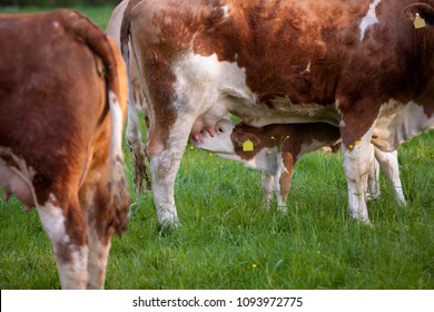 small brown and white calf suckles from the mother's udderwhile standing on a green pasture