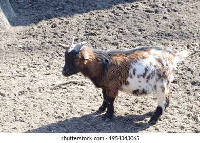 A small brown-white goat kid