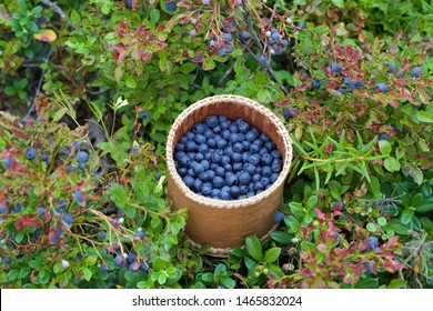 A small bucket of fresh bilberries. Season: Summer. Location: Western Siberian taiga.