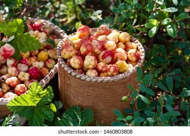 A small bucket of precious cloudberries (Rubus chamaemorus). Season: Summer. Location: Western Siberian taiga.