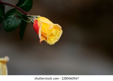 Small bud of yellow and red rose
