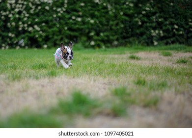 Small bulldog puppy alone outside in nature. Cute little friend.
