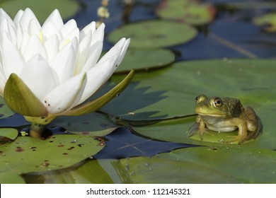 Small Bullfrog (Lithobates catesbeianus) Sitting on a Lily Pad next to a Fragrant Water Lily Flower (Nymphaea odorata) - Ontario, Canada