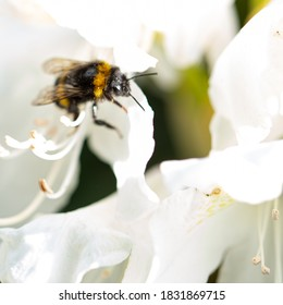 A small bumblebee on a white flowering rhododendron flower.