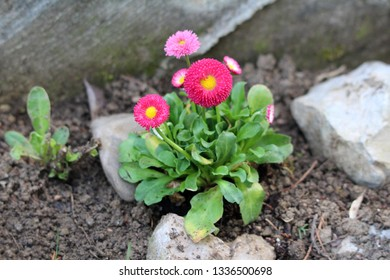 Small bunch of Common daisy or Bellis perennis or English daisy or Meadow daisy or Lawn daisy herbaceous perennial plants with pink to red pompon like flowers with yellow center
