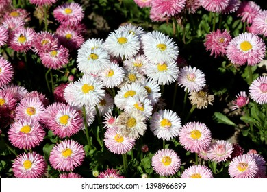 Small bunch of Common daisy or Bellis perennis or English daisy or Meadow daisy or Lawn daisy herbaceous perennial plants with white and pink pompon like flowers with yellow center