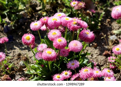 Small bunch of Common daisy or Bellis perennis or English daisy or Meadow daisy or Lawn daisy herbaceous perennial plants with pink pompon like flowers with yellow center growing in local garden