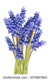 A small bunch of tender blue spring April hyacinths of Muscari. Isolated on white studio macro shot