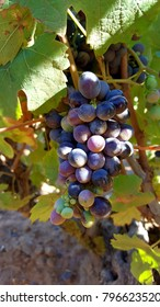 a small bunch of young black grapes on a grape vine in a vineyard