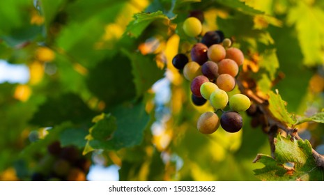 Small bunches of red and white grapes growing in southern Europe at sunset