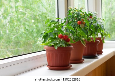 Small bush of balcony cherry tomatos in brown pots on white windowsill. Gardening tomatoes in the home at summer - Shutterstock ID 1502532818