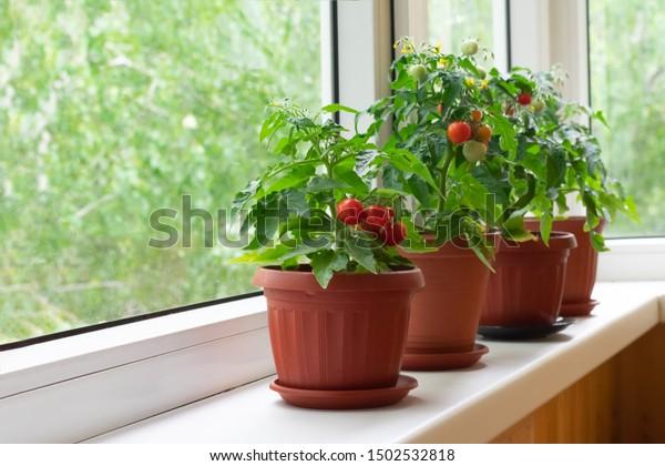 Petit buisson de tomates cerises de balcon dans des pots marron sur un rebord blanc. Jardiner des tomates dans la maison en été
