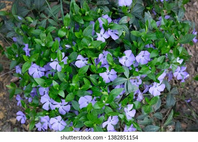 Small bush blooming purple periwinkle in the park, top view. Vinca minor (small periwinkle, common periwinkle) grows equally well in the wild forest and in the garden.