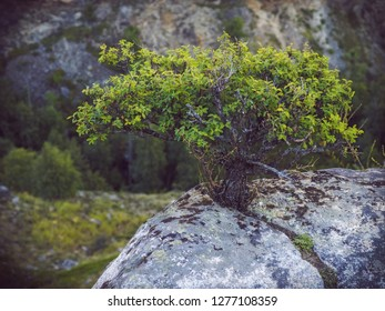 Small bush growing on a rock. Close view