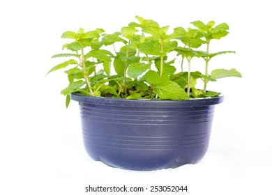 Small bush of mint in a flowerpot against a white background