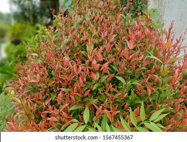 A small bush plant with bright red and green leaves, named Nandina domestica nandina, Heavenly Bamboo or Sacred Bamboo, a species of flowering plant in the family Berberidaceae.