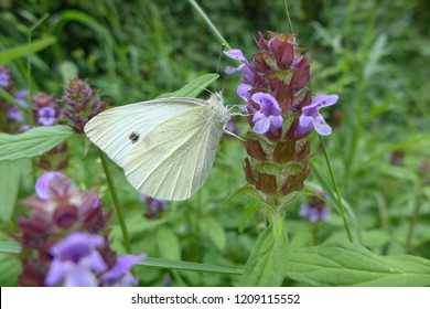 Small cabbage white butterfly (Pieris rapae) on self-heal flower (Prunella vulgaris)