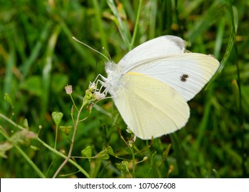 small cabbage white, summer meadow