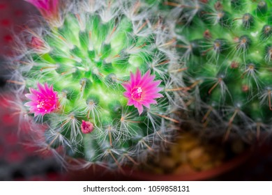 Pink red flowers of barrel cactus images stock photos vectors small cactus have pink flower blooming and small stone for ground on the morning mightylinksfo