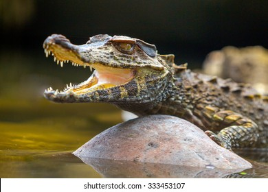 Small Caiman Crocodile Absorbing Heat Shot In The Wild In Amazon Basin In Ecuador