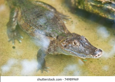 Small caiman in water