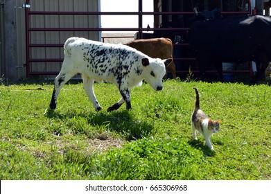 Small calf following a young kitten.
