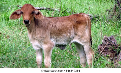 Small calf standing alone at a pasture field