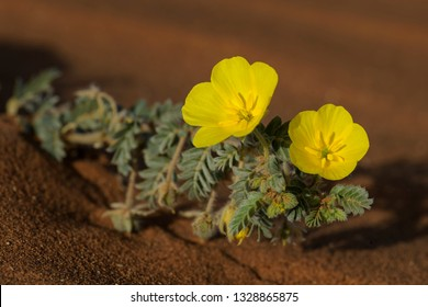 Small Caltrops - Tribulus terrestris, beautiful small plant with yellow flowers widely distributed around the world, Namib desert, Sossusvlei, Namibia.