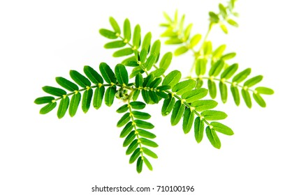 small caltrops weed and leaves, isolated freshness plant on white background