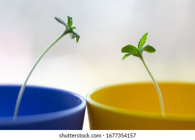 Small cannabis sprouts in yellow and blue cups