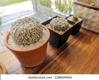 small cantus in bucket, tiny tree