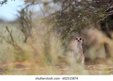 Small carnivoran, Meerkat, Suricata suricatta, closely watching surroundings near to its burrow. Ground level,  ultrawide image. Wildlife photo of  suricate on red sand of Kalahari desert, Botswana.