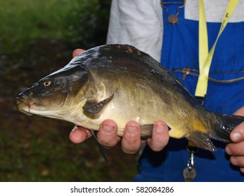 Small carp in hands of fisherman with his body in background, brown skin with scales, four fingers under belly of fish, hunting and fishing in nature for wild animals
