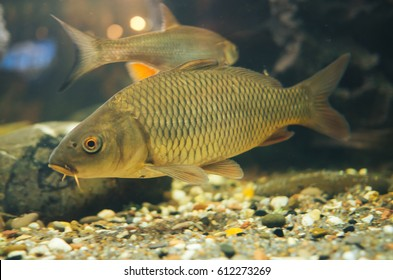 a small carp in a home aquarium