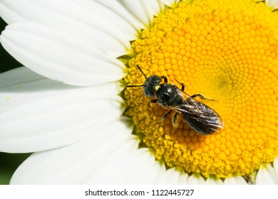 Small Carpenter Bee collecting nectar from an Ox-eye Daisy flower. Todmorden Mills, Toronto, Ontario, Canada.