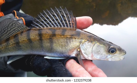 Small caught zander in the palm of a glove on the background of the water close-up