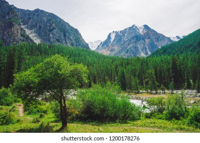 Small cedar against mountain creek in valley against giant rock. Water stream in brook from glacier. Rich vegetation and forest of highlands. Conifer trees. Atmospheric landscape of majestic nature.