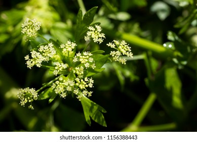 Small celery flower in front of blurred green field