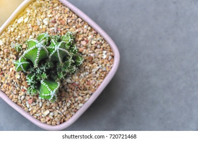 Small Cereus Peruvianus cactus in pink clay pot full of stone on grey background. Shot from top view. Selective focus on top of the cactus.