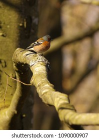 Small chaffinch on the branch