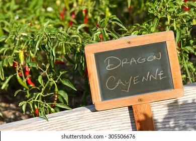 Small chalkboard garden sign identifying the garden plant Dragon Cayenne bathed in warm sunlight.