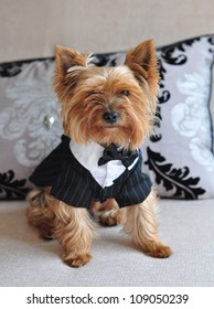 A small charming Yorkshire Terrier sitting on a sofa in the elegant dog clothes.
