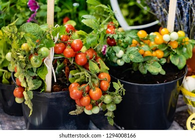 small cherry tomato plants in the pots