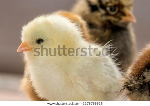 Small Chicken Chicks Baby Cute Chickens Stock Photo Edit