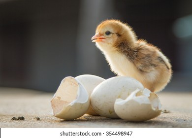 Small chicks and egg shells. soft focus