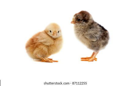 small chicks on white background