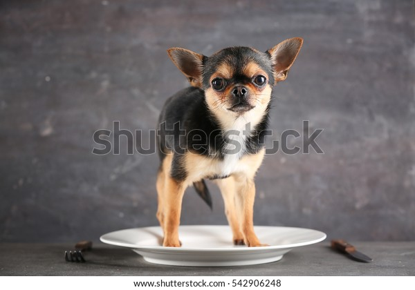 Small chihuahua dog on empty plate, on grey background